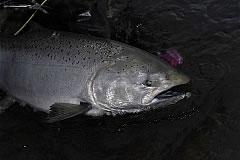alaska-king-salmon001